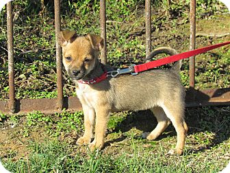 Chihuahua/Miniature Pinscher Mix Puppy for adoption in Bedminster, New Jersey - PIPPA