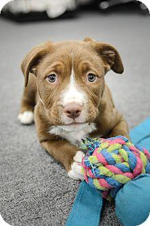 Boxer/Labrador Retriever Mix Puppy for adoption in Nashville, Tennessee - DREW