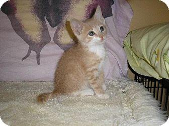 Domestic Shorthair Cat for adoption in Lovingston, Virginia - Larry