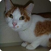 Adopt A Pet :: Little Man - Hamburg, NY