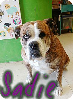 English Bulldog Mix Dog for adoption in Odessa, Texas - Sadie