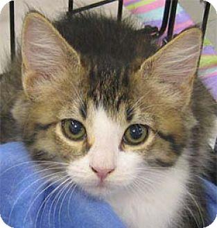 Domestic Mediumhair Kitten for adoption in Garland, Texas - Athena