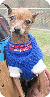Miniature Pinscher Mix Dog for adoption in Reeds Spring, Missouri - Elly