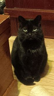 Domestic Mediumhair Cat for adoption in Toronto, Ontario - Lola