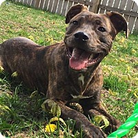 Pit Bull Terrier Mix Dog for adoption in West Allis, Wisconsin - Roger