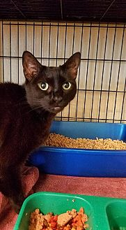 Domestic Shorthair Cat for adoption in Sewaren, New Jersey - Gemini