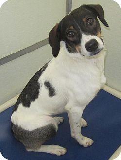 Australian Shepherd/Rat Terrier Mix Dog for adoption in Holton, Kansas - Cammie