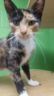 Domestic Shorthair/Domestic Shorthair Mix Cat for adoption in Manitowoc, Wisconsin - Sassy
