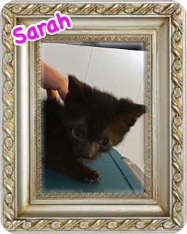 Domestic Shorthair Kitten for adoption in Brentwood, New York - Sarah