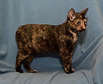 Manx Kitten for adoption in Sanford, Florida - Kasey