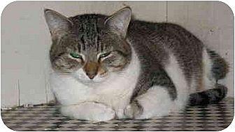 Domestic Shorthair Cat for adoption in Scottsdale, Arizona - Marley