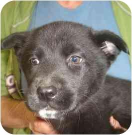 Labrador Retriever/Border Collie Mix Puppy for adoption in Old Bridge, New Jersey - Isabella