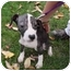 Photo 2 - American Pit Bull Terrier/American Bulldog Mix Dog for adoption in Bolingbrook, Illinois - Sarah