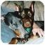 Photo 1 - Doberman Pinscher Dog for adoption in Kingwood, Texas - Sophie