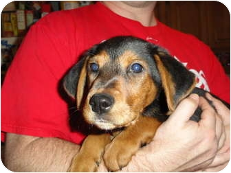 Labrador Retriever/Beagle Mix Puppy for adoption in Marlton, New Jersey - Carly