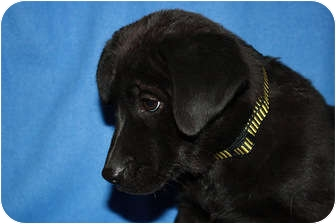 Newfoundland Mix Puppy for adoption in Broomfield, Colorado - Lucille Ball