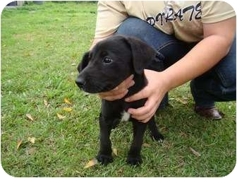 Labrador Retriever Mix Puppy for adoption in Groton, Massachusetts - Maya