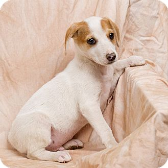 Basenji/Beagle Mix Dog for adoption in Anna, Illinois - BART
