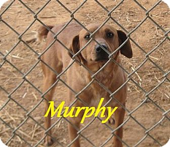Mountain Cur Mix Dog for adoption in Linden, Tennessee - Murphy