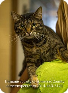 Domestic Shorthair Cat for adoption in Somerset, Pennsylvania - Tigger