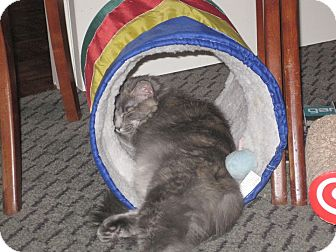 Domestic Longhair Cat for adoption in Mebane, North Carolina - Dina