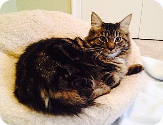 Maine Coon Cat for adoption in Troy, Michigan - Pudgy