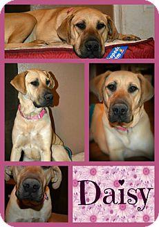 Great Dane Mix Dog for adoption in Clovis, New Mexico - Daisy