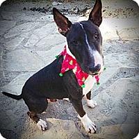 Adopt A Pet :: NIKO - Sachse, TX