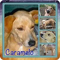 Adopt A Pet :: Caramelo - Toa Alta, PR