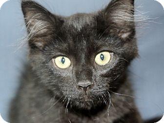 Domestic Shorthair Cat for adoption in Warren, Michigan - Adam