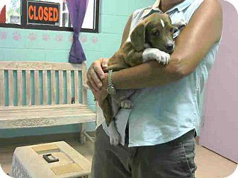 Beagle Mix Puppy for adoption in Lufkin, Texas - Duchess