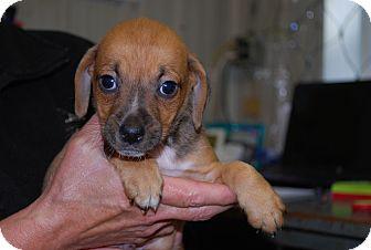 Hound (Unknown Type) Mix Puppy for adoption in Waupaca, Wisconsin - Peanut
