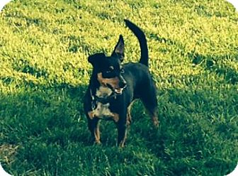 Miniature Pinscher Mix Dog for adoption in Des Moines, Iowa - Brutus