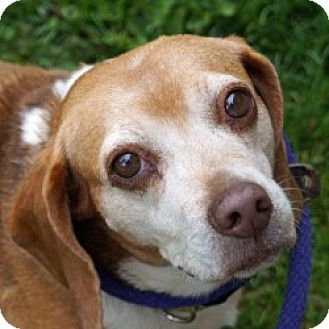 Beagle Mix Dog for adoption in Eatontown, New Jersey - Langley