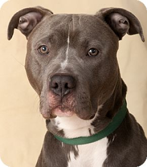 American Pit Bull Terrier Mix Dog for adoption in Chicago, Illinois - Zipper