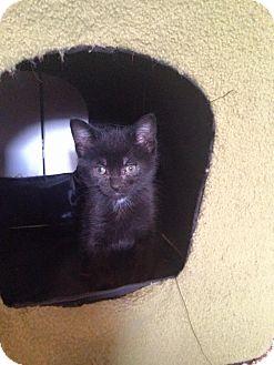 Domestic Shorthair Kitten for adoption in Des Moines, Iowa - Mandarin