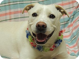 Labrador Retriever/Pit Bull Terrier Mix Dog for adoption in Quincy, Illinois - Odessa