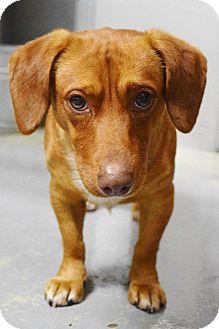 Dachshund/Chihuahua Mix Dog for adoption in Lebanon, Missouri - Jackson