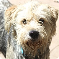 Adopt A Pet :: Remington - MEET ME - Norwalk, CT