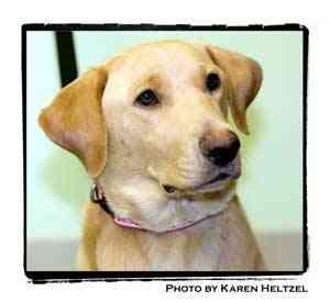 Labrador Retriever Mix Dog for adoption in Warren, Pennsylvania - Rosey