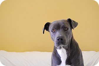 Pit Bull Terrier Mix Dog for adoption in Ridgway, Colorado - Sylvia