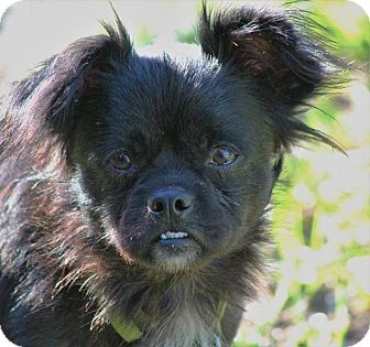 Chihuahua/Shih Tzu Mix Dog for adoption in Jesup, Georgia - Sully
