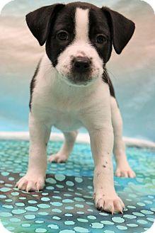 Husky/German Pinscher Mix Puppy for adoption in Allentown, Pennsylvania - Price