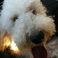 Poodle (Standard)/Golden Retriever Mix Dog for adoption in Alpharetta, Georgia - Daisy