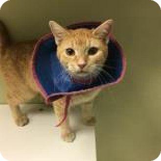 Domestic Shorthair Cat for adoption in Columbus, Georgia - Roo 3015