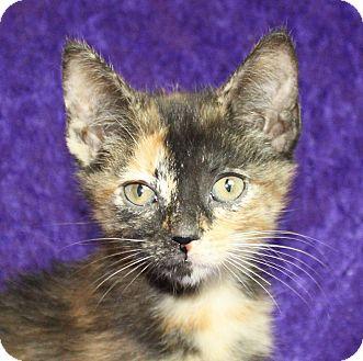 Domestic Shorthair Kitten for adoption in Jackson, Michigan - Olive