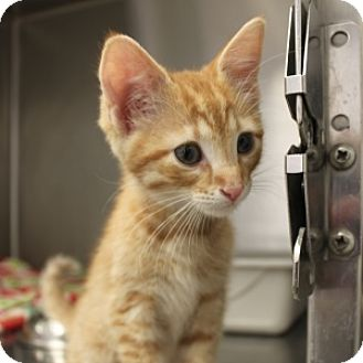 Domestic Shorthair Kitten for adoption in Naperville, Illinois - Cinnamon