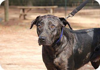 Catahoula Leopard Dog/German Shepherd Dog Mix Dog for adoption in Ruston, Louisiana - Chief