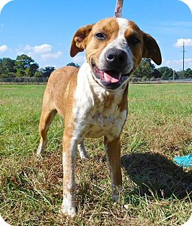 Cattle Dog/Terrier (Unknown Type, Medium) Mix Dog for adoption in St. Francisville, Louisiana - Cowboy