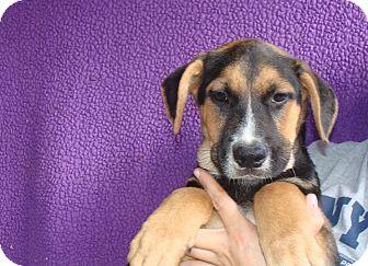 German Shepherd Dog/Labrador Retriever Mix Puppy for adoption in Oviedo, Florida - Viper